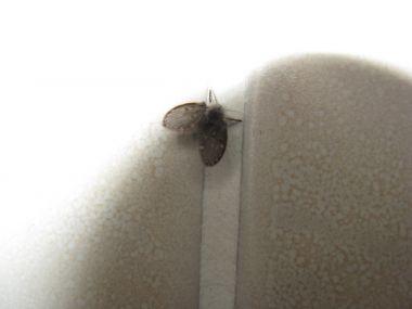 Vliegjes plaag in huis